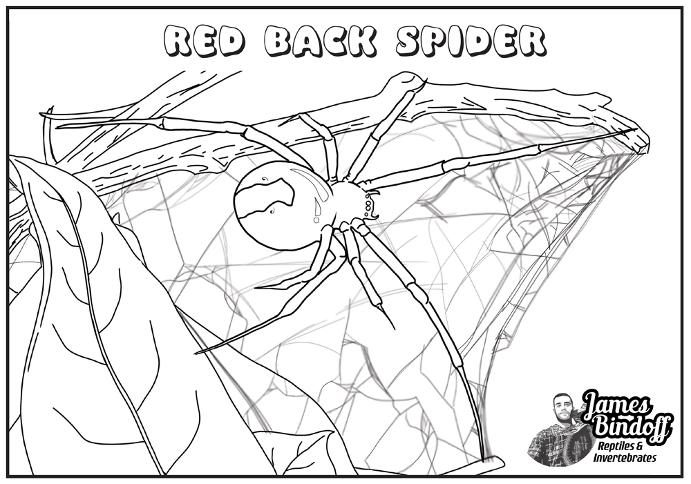 Red Back Spider Colouring In Page Download
