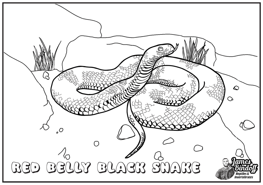 Red Belly Black Snake Colouring In Page Download